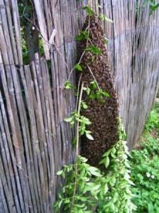 Essaim d'abeilles jardin