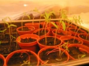 Graines tomates germées