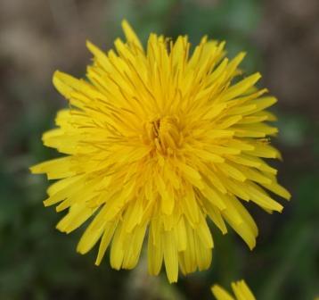 Fleur pissenlit - 5 avril 2009