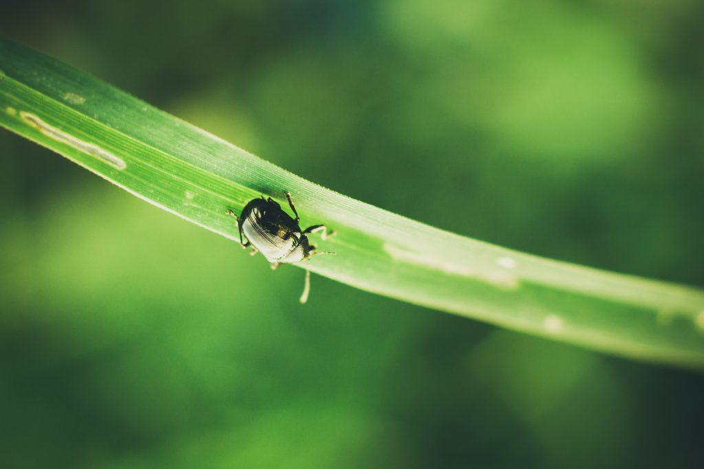 Un insecte vert foncé sur une tige