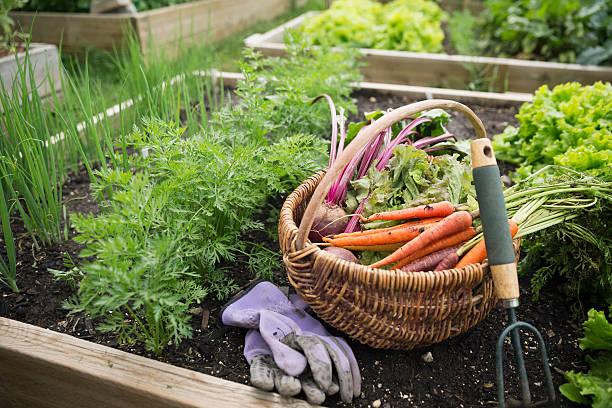 Potager en carré avec des plantations, une paire de gant, un panier de légumes et des outils de jardinage